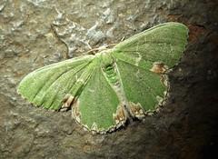 Blotched Emerald. Comibaena bajularia (gailhampshire) Tags: blotched emerald comibaena bajularia taxonomy:binomial=comibaenabajularia