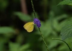 蝶採花08 (enno7898) Tags: panasonic lumix g9 lumixg9 vario 45200mm f4056 butterfly plant flower