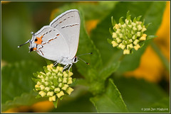 Gray Hairstreak 3721 (maguire33@verizon.net) Tags: grayhairstreak lantana strymomelinus butterfly hairstreak insect wildlife