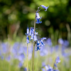 Bokeh Bluebells (Matthew_Hartley) Tags: bluebells bokeh spring nature flower flowers plant plants helmshore haslingden rossendale lancashire northwest england uk britain sony a7 iii a7iii fullframe 2870 2870mm