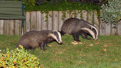 Wildlife Cafe Diners. (tsbl2000) Tags: badger wildlifecafe nikond810 nikon2870mmf28d wildlife sussexwildlifetrust naturethroughthelens