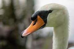 Close up (matthiasstiefel) Tags: höckerschwan muteswan schwan swan