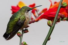 IMG_9522 Calliope hummingbird (starc283) Tags: canon 7d wildlife nature natures finest bird birding birds humming boardtail hummingbird flickr flicker flora flower watcher starc283 macro animal lizard naturesfinest naturewatcher