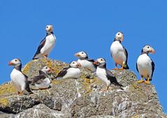 Puffins (eric robb niven) Tags: ericrobbniven scotland puffins wildlife wildbird nature seabirds springwatch