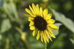 Bee On The Shady Side (Modkuse) Tags: insect bee flower flowergarden nature natural fujifilm fujifilmxt2 fujifilmxt2provia xt2 xf1855mmf284rlmois fujinonxf1855mmf284rlmois provia fujiprovia color sunflower backlight