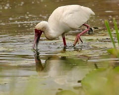 One-legged wonder (Nagarjun) Tags: africanspoonbill bird avifauna birdlife lake wildlife nairobinationalpark kenya plataleaalba