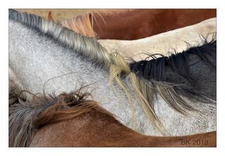 Arabian fillies