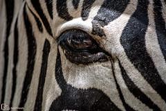 Mirada (M. Ángeles Cuenca) Tags: ojo mirada triste pestañas cebra animal