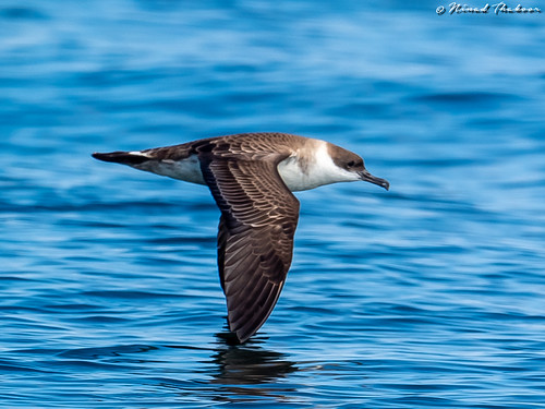 """Great Shearwater (Lifer) • <a style=""""font-size:0.8em;"""" href=""""http://www.flickr.com/photos/59465790@N04/42838512540/"""" target=""""_blank"""">View on Flickr</a>"""