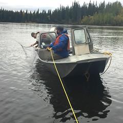 Checking the gill net (J.P. EVERETT) Tags: alaska ak gill net gillnet salmon fork