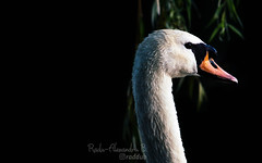 Some swan (Radu-Alexandru) Tags: swan lake swanlake whiteswan cygne cigno svane bird animal lovers nature explore lanscape bestshot wildlife sonyalpha sonya5000 porst135mm 135mmf28
