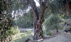 Εκατοχρονίτικη ελιά στους Λάκωνες της Κέρκυρας  ( περιοχή κοντά στην Παλαιοκαστρίτσα). (Greece, Corfu, Lakones). (Giannis Giannakitsas) Tags: greece grece griechenland κερκυρα corfu λακωνεσ ελια canon eos 650 slr 35 mm film camera