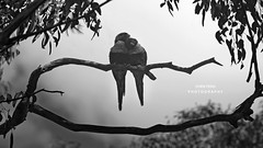 Morning Lover! #monday #morning  #bird #blackandwhite #lover #photography #animal #bnw (qqlongji) Tags: photography monday morning bird blackandwhite lover animal bnw