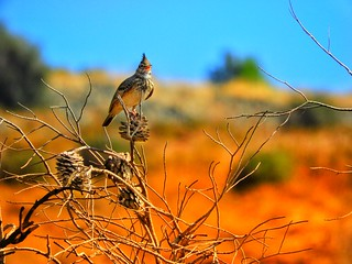 a lark on the tree