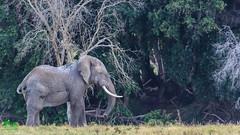 20180805IMG_7248-2.jpg (jmcenern) Tags: africa elephant amboselinationalpark kenya