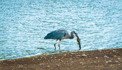 Heron Having Lunch (Mule67) Tags: great blue heron fish fishing eating lunch fern hill wetlands oregon