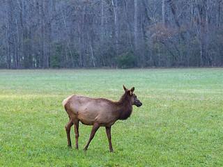 IMGPJ06217C_Fk - Great Smoky Mountain National Park - Elk