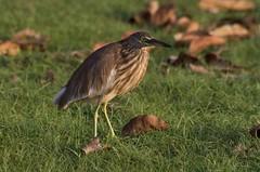 Indian pond heron (derliebewolf) Tags: reiher reisen srilanka vögel wildlife südprovinz lk ceylon indianpondheron heron travel