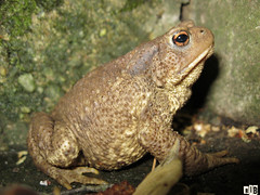 IMG_70431 (RythiéInBlack) Tags: frog toad crapaud grenouille amphibien batracien faune herpetofaune eau vert green mare pond
