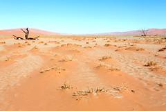 Desert Interruptions_3787-2 (hkoons) Tags: namibsandsea namibnaukluftnationalpark sanddunesea sesriemgate southernafrica africa african namibia sesriem tree unesco dune dunes growth plants sand sandy vegetation