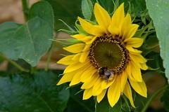 Nectar restaurant (applejuice640) Tags: flower bee nature sunflower animal plant