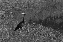 Little Blue Heron (Gene Ellison) Tags: bird great blue heron pond water reflection grass marsh