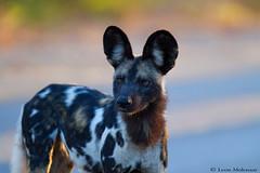 African Wild Dog (leendert3) Tags: leonmolenaar southafrica krugernationalpark wildlife nature mammals africanwilddog ngc coth5 npc