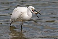 Little Egret (Stephen B53) Tags: fishing fish bird catchingfish