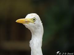Quoi mon œil ? (Jean-Daniel David) Tags: oiseau nature blanc héron hérongardeboeufs france drôme pierrelatte bokeh grosplan closeup portrait échassier