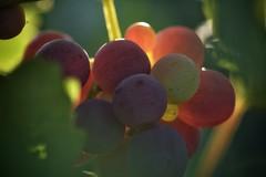 Las uvas deben ser aplastadas para hacer vino. Los diamantes se forman bajo presión. Las semillas crecen en la oscuridad. Cada vez que te sientas aplastado, bajo presión, o en la oscuridad, estás en un lugar poderoso de transformación. (elena m.d.) Tags: alimentos sigma sigma105 nikon d5600 macro macromondays new 2018 colores colors street calle contraluz elena guadalajara 7dwf