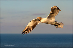 Golden Gannet (Sandra Lipproß) Tags: northerngannet bemptoncliffs wildlife birding flyingbird bird animal nature outdoor sea