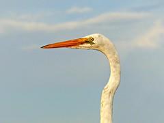 Posing on the pier (sisterchat) Tags: 7dwf fauna egret picmonkey