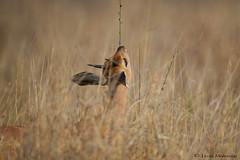 Springtime (leendert3) Tags: leonmolenaar southafrica krugernationalpark wildlife nature mammals steenbok ngc npc coth5 naturethroughthelens
