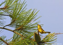 Prairie Warbler (doc ellen) Tags: jordanlake prairiewarbler jordanlakestatepark songbird flycatcher