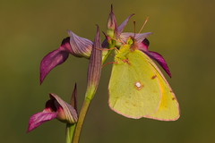 Colias croceus (6) ...  Trying to go unnoticed. (JoseDelgar) Tags: insecto mariposa coliascroceus 425853368732777 josedelgar ones naturethroughthelens ngc coth alittlebeauty coth5 npc