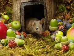 wild mouse with fruits and berry's (5) (Simon Dell Photography) Tags: wild george log pile house mouse nature garden animal rodent cute fun funny summer fruits berries berrys display lots bounty moss covered simon dell photography sheffield 2018 aug cool awesome countryfile ears close up high detail cards design