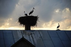 outcast (daimak) Tags: storks nature birds lithuania roof chimney cloudy sonyilce7