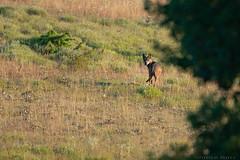 Loup gris (Julien Ruiz) Tags: loup wolf canis lupus