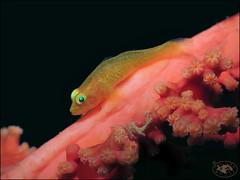 Soft Coral Ghostgoby (Pleurosicya boldinghi) (Brian Mayes) Tags: 2002 icebox1 muara brunei goby softcoralghostgoby pleurosicyaboldinghi underwater scuba diving canon g16 canong16 brianmayes