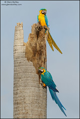 Blue-and-yellow Macaw (Ara ararauna) (Glenn Bartley - www.glennbartley.com) Tags: animal animalia animals atlanticrainforest aves avian bird birdwatching birds brazil glennbartley nature neotropical pantanal rainforest southamerica wildlife blueandyellowmacawaraararauna