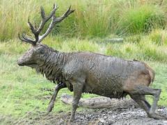 Wallowing in glorious mud (Charos Pix) Tags: reddeer stag wallowing mud