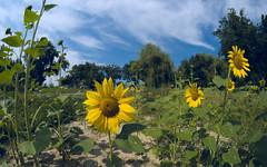 Field of sunflowers (tortipede) Tags: sony a58 fromraw rawtherapee holiday france frança occitanie occitània lauragais lauragués rigoledelaplaine recdelaplana sunflower sunflowers samyang 8mm fisheye prime