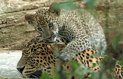 shrilankan panther cub Burgerszoo JN6A3619 (j.a.kok) Tags: panter panther shrilankapanter shrilankanpanther shrilankaansepanter shrilankanleopard luipaard leopard pantheraparduskotiya kat cat jaffna mammal zoogdier dier predator burgerszoo