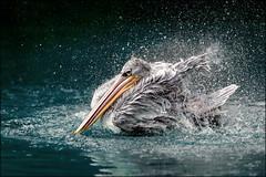 Taking bath (Eva Haertel) Tags: eva haertel canon5dmarkiii animal water vogel bird pelikan pelican spritzen splash sprinkle see lake tropfen drops