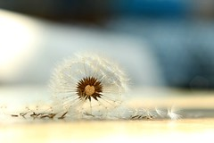 Defining beauty (*c*j*) Tags: dandelion beauty definingbeauty macromondays hmm imperfection