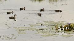 Duck pond (Nagarjun) Tags: egyptiangoose alopochenaegyptiaca nairobinationalpark kenya eastafrica duck safari savannah gamedrive wildlife lillypond