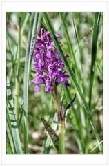 Pyramidale (Charlottess) Tags: nikon5300 alpesdehauteprovence juillet fleur ophrys orchis