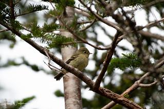 Yellow-bellied Flycatcher-18-5