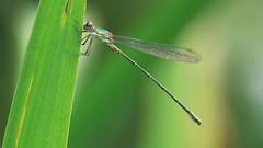 Chalcolestes Viridis (Visual Stripes) Tags: damselfly odonata insect invertebrate nature sigma105mm macro panasoniclumixg1
