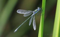 M2195911 E-M1ii 300mm iso400 f5.6 1_160s (Mel Stephens) Tags: 20180819 201808 2018 q3 16x10 8x5 wide widescreen olympus mzuiko mft microfourthirds m43 300mm pro omd em1ii ii mirrorless animal animals nature wildlife fauna insect uk scotland aberdeenshire strathbeg dragonfly best gps very